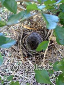 Nest im Strauch, ganz schön gepolstert